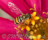 A Hover Fly