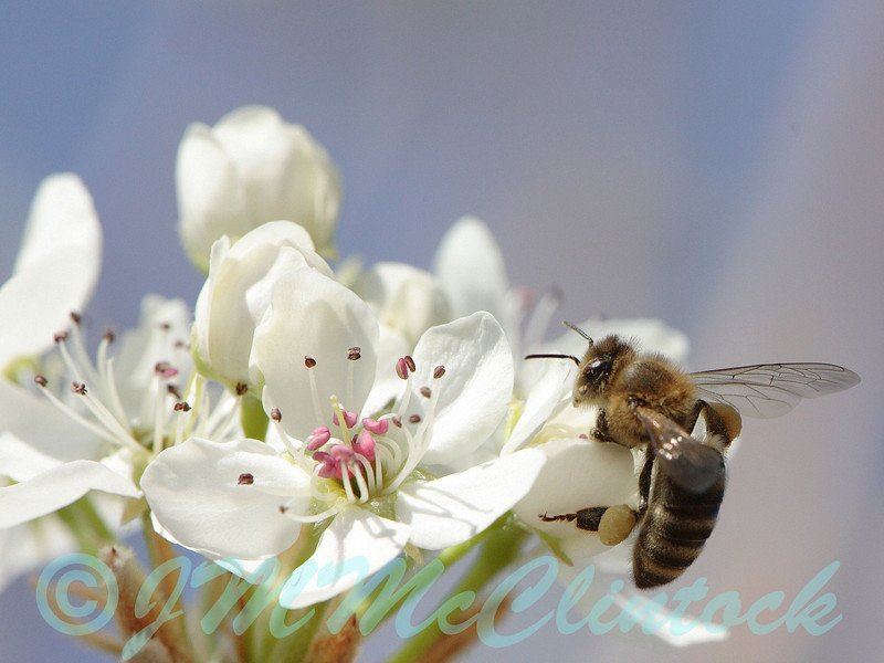 A honey bee on a Bradford Pear blossom.