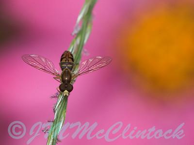 Tiny Hover Fly