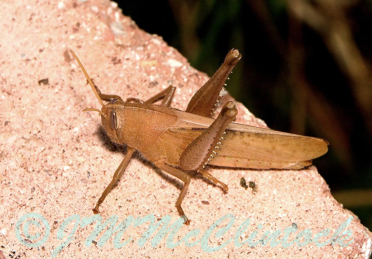 Plain Brown Grasshopper
