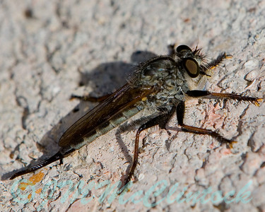 A Robber Fly with a little bug meal in his jaws.
