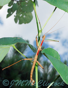 This walking stick is about 12cm long.  He was found on the back portch window and moved to a Redbud tree to photograph.  These insects generally feed on plants in the rose family so this is probably not a natural invironment for him.