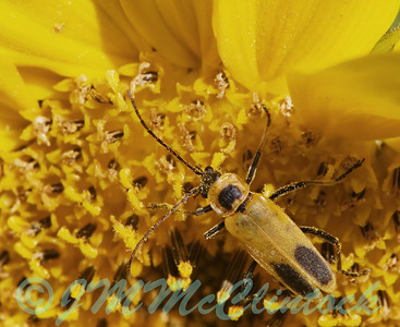 Goldenrod Soldier Beetle on a sunflower.  Isn't mimicry great!