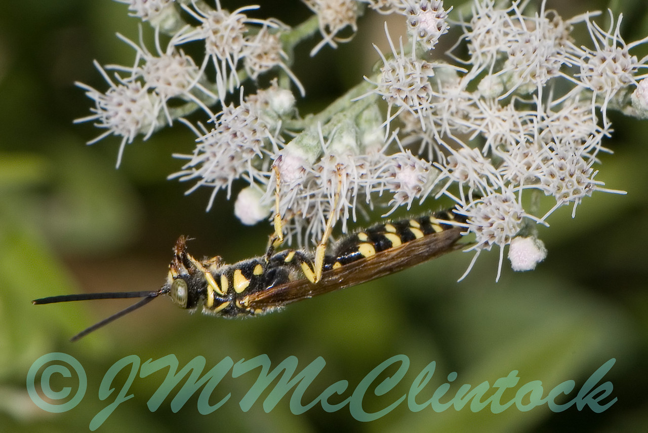 A Wasp with a bug meal