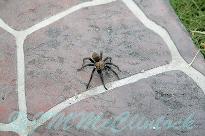 I saw two tarantulas in the same day.  One was seen while taking a walk in the neighborhood.  I didn't have a camera with me, but was elated to find this one in the back yard on arriving home.  I dont see these often.  Perhaps mating season had them on the move.