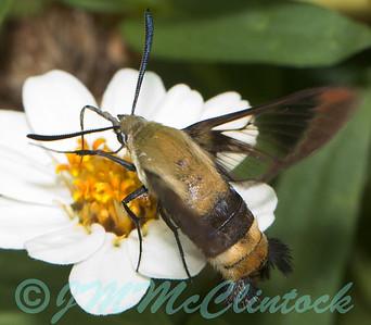 Clear Winged Hawk Moth