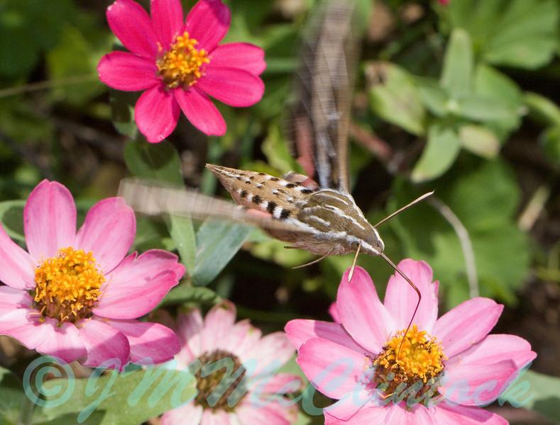 Striped Morning Sphinx Moth in flight.