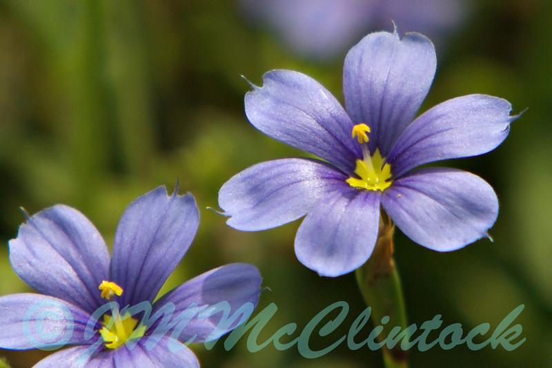 Tiny wild flower.