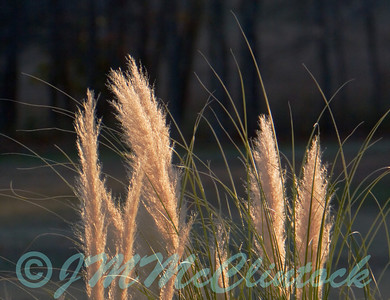 Ornamental Grass shot near dusk.  The grass is still in the late evening sun.  The background is in the shadow of the nearby hill.