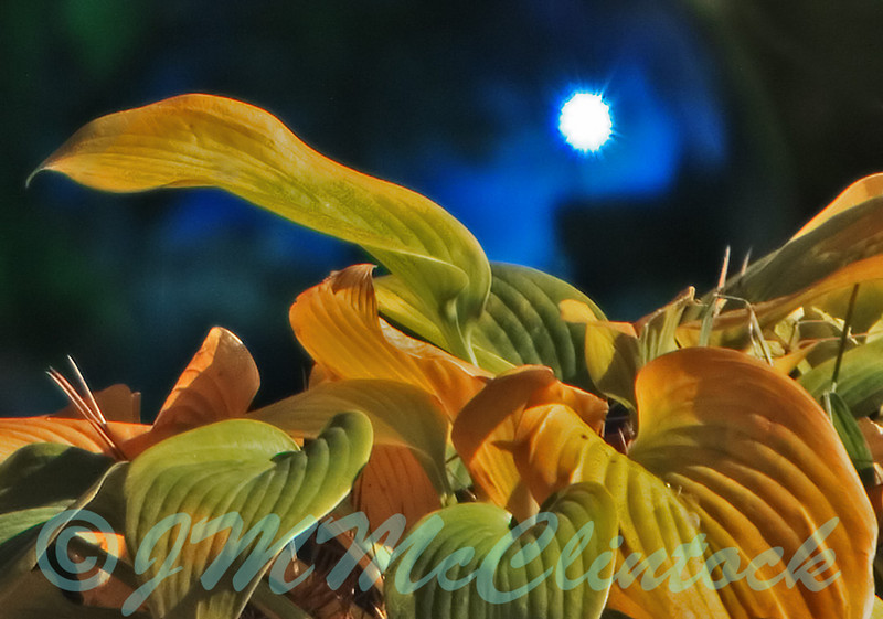 Hosta showing fall color.  There is a blue gazing ball with a specular highlight in the background.