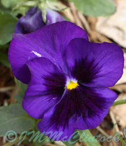 A Pansy, not really a macro shot.