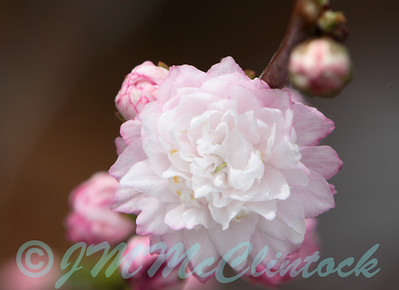 This is a flowering almond blossom.  It is about 12mm in diameter.