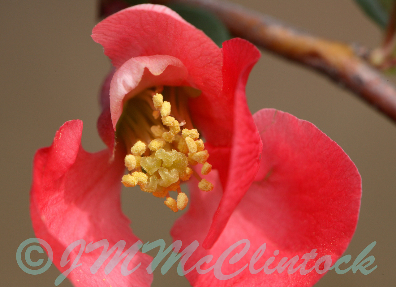 Another tiny flower.  This time it is a quince apple blossom.