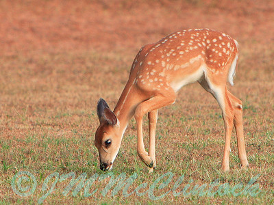 One of two fawn twins taken in the late evening just as the sun was setting.