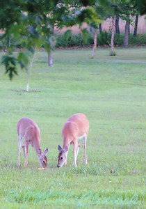 Deer shot through the sun room window at dusk.