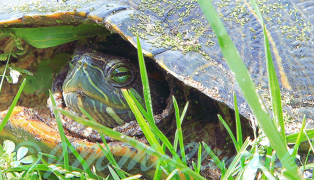 This turtle was posing outside the sunroom window.  The alternating green and yellow stripes in his face are strikingly similar to the grass.