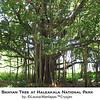 Banyan Tree, Haleakala National Park, Maui Hawaii, Hana Drive