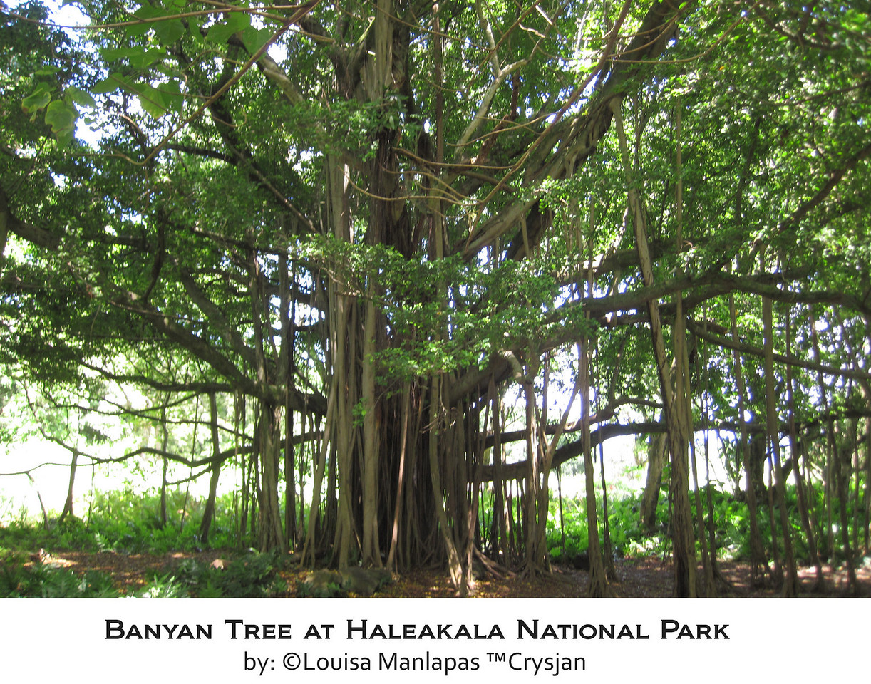 Banyan Tree, Haleakala National Park, Maui Hawaii, Hana Drive