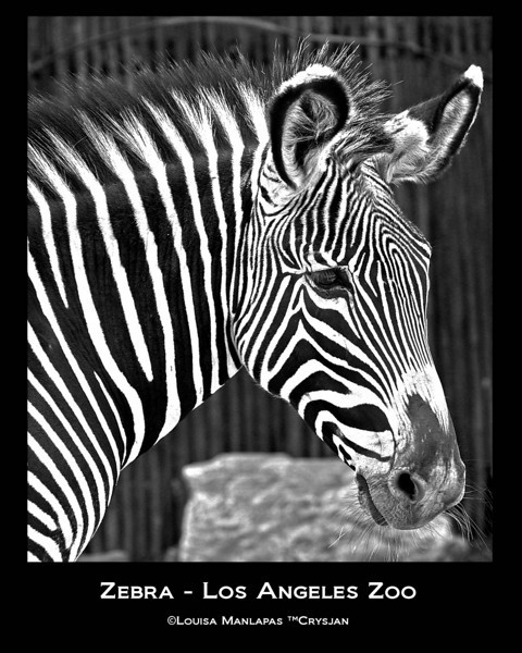Zebra, Los Angeles ZOO