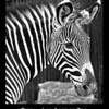 Zebra, Los Angeles ZOO