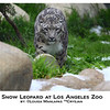 Snow Leopard, Los Angeles Zoo
