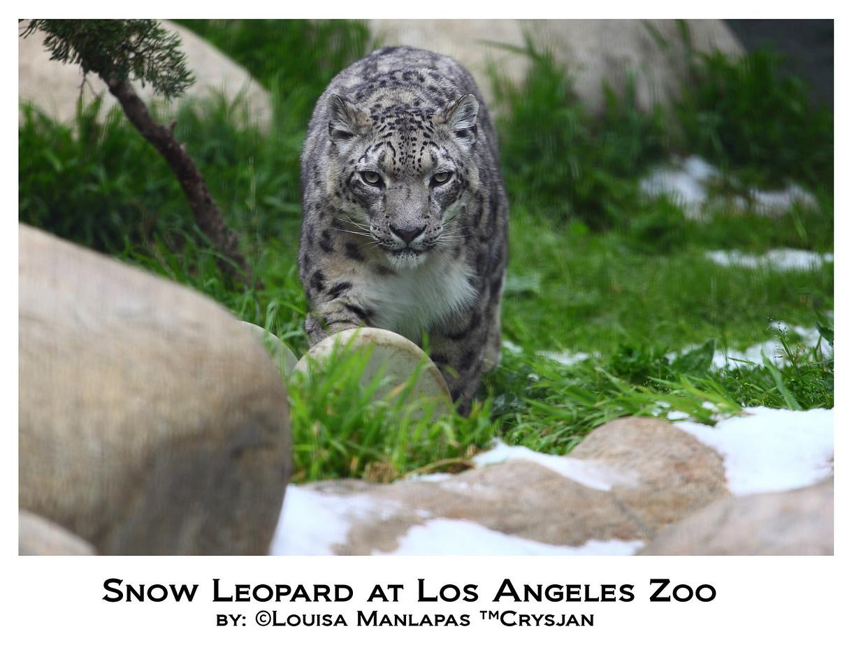 Snow Leopard, Los Angeles Zoo