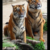 Siberian Tigers, Los Angeles ZOO