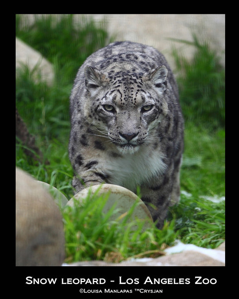 Los Angeles ZOO, Snowleopard