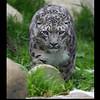 Los Angeles ZOO, Snowleopard