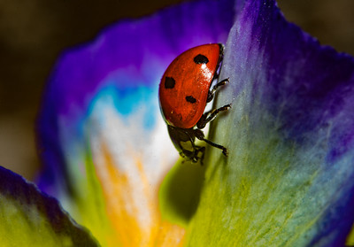 Ladybug on Yellow and Purple