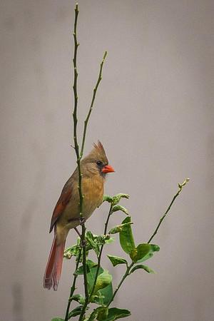 cardinal-8998