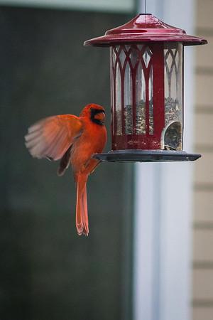 cardinal-8894
