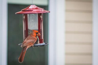 cardinal-8990