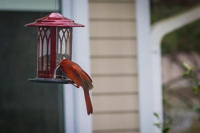 cardinal-8883