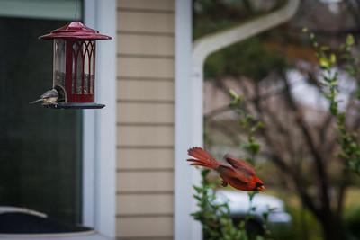 cardinal-8902