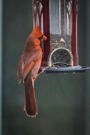cardinal-8961