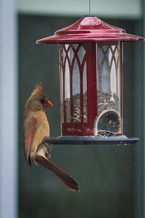 cardinal-9001
