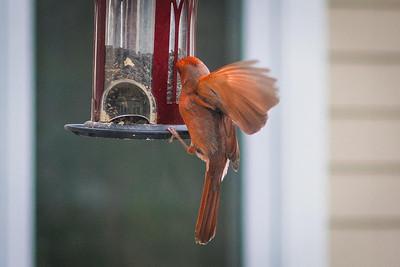 cardinal-8938