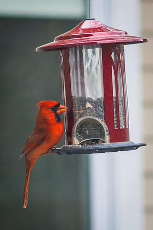 cardinal-8893