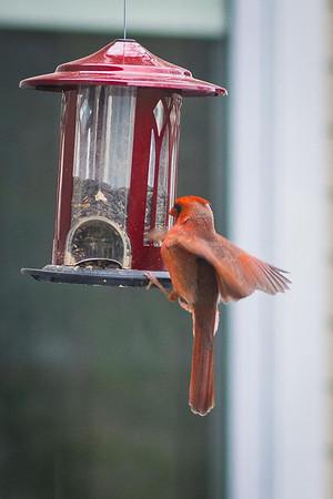 cardinal-8937