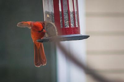 cardinal-8889