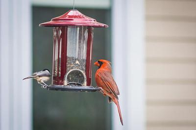 cardinal-8947