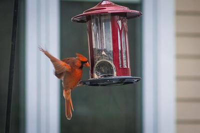 cardinal-8976