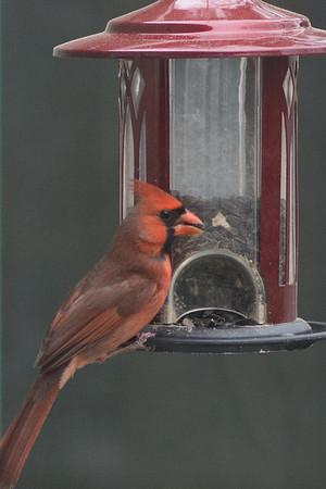 cardinal-8980