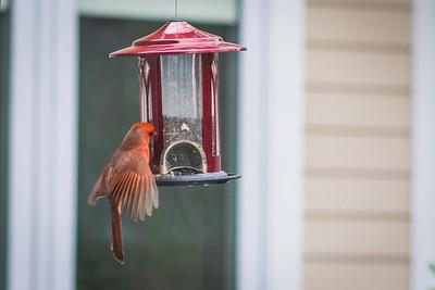 cardinal-8955 - Copy