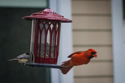 cardinal-8901