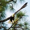 Anclote Eagle Gails Sold R_DSC2340