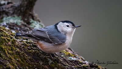 White-breasted Nuthatch.  Sitta carolinensis. 12/19/16.  Grisham Acres on Berry Mountain.  Mayesville, AL.  Charles H. Grisham Jr.   Canon 7d2 w/Canon 600 f4 ii lens.