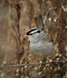 White-crowned Sparrow. Zonotrichia leucophrys.  12/9/16.  Research Park in Huntsville, AL.   Charles H. Grisham Jr.   Canon 7d2 w/Canon 600 f4 ii lens w/1.4xiii converter.