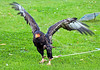 Bird of Prey Exhibit - Glasgow Festival